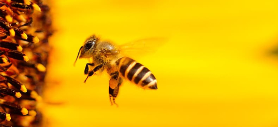 Is Bee an Insect or Bug