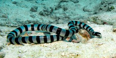 Faint-Banded Sea Snake