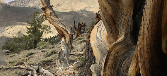 Top 10 Oldest Trees in the World