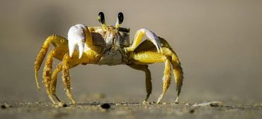 What's Unusual about the Crabs in Fiji?
