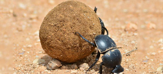 9 True Facts about Dung Beetle