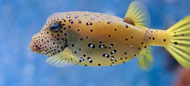 What Is Special about Pufferfish?