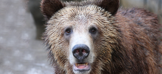 When Did the California Grizzly Bear Go Extinct