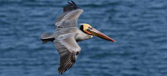 15 Cool and Interesting Things about Brown Pelicans