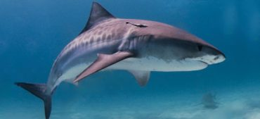 Can Sharks Get Cancer?