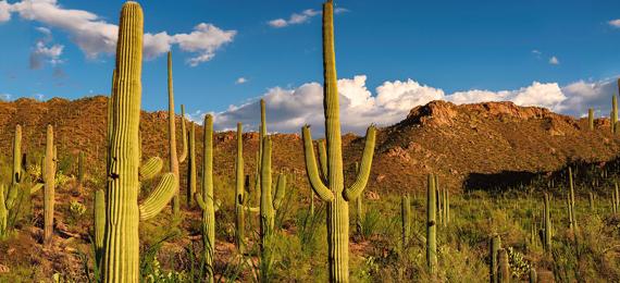 The Top 10 Saguaro Cactus Facts