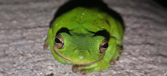 What Makes an American Green Frog Green