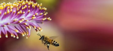 What Is Bee Venom Therapy?