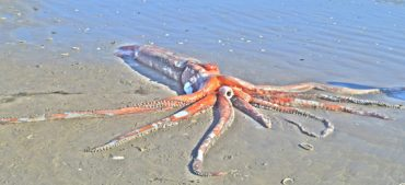 Everything You Need to Know about the Giant Squid