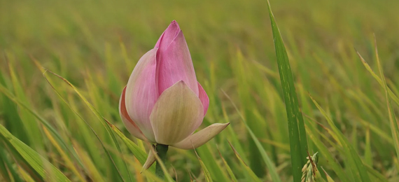 Discover Why Lotus Silk Is So Expensive and Its History