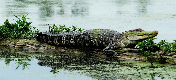 Can Alligators Regrow Their Tails?