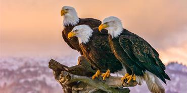 America's Bald Eagles