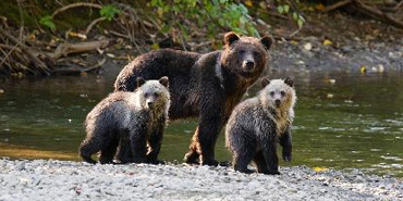 Bear Watching in the North America