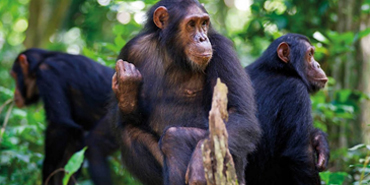 Go Chimpanzee Trekking