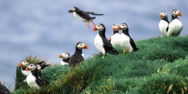 See Puffins in Iceland