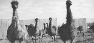 What Do You Know about the Great Australian Emu War of 1932?