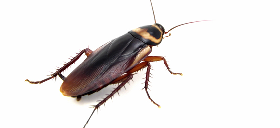 Have Cockroaches Survived A Million Years?