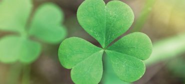 Shamrock Facts:10 Interesting Things About Shamrocks