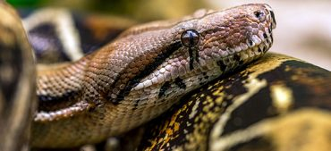 10 Interesting Facts about Boa Constrictors