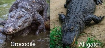 A Newly Discovered Difference between Alligator and Crocodile