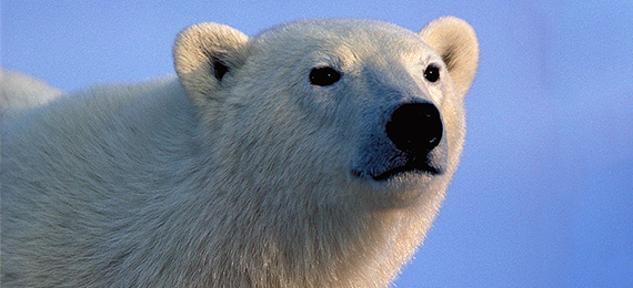 Discover Why Are Polar Bear Hairs Hollow?