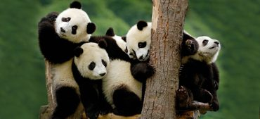 6 Interesting Facts about Pandas