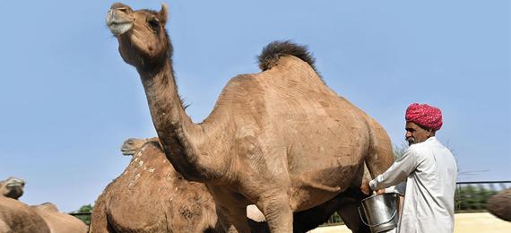 Does Camel Milk Curdle?