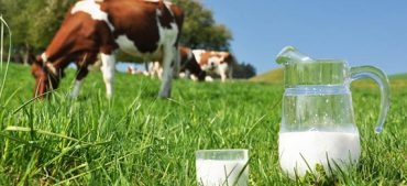 Do You Know A Cow's Lifetime Milk Production Capacity?