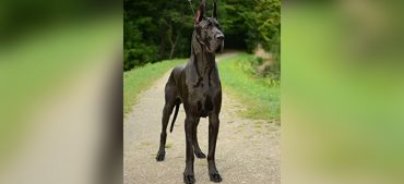 What Is the Tallest Breed of Dog in the World?