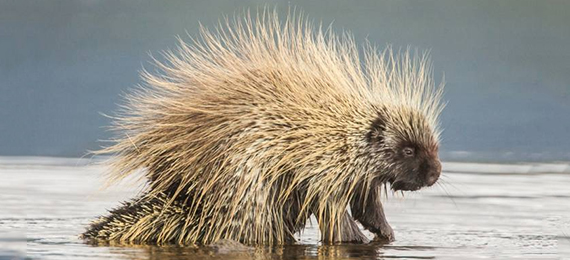 What Makes a Porcupine Float in Water?