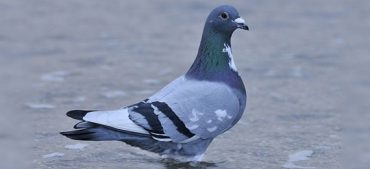US Coast Guard Trained Pigeons to Rescue People
