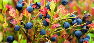 When Is the Blueberry Season?