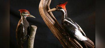 Extinction of Species:Ivory-Billed Woodpecker Declared Extinct