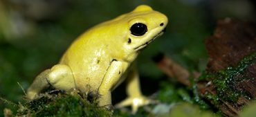 Fascinating Facts about the Golden Poison Dart Frog